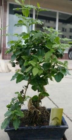 Bonsai japon ağacı saksı bitkisi  Şanlıurfa çiçekçi telefonları