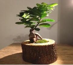 Doğal kütükte Bonsai japon ağacı satışı  Şanlıurfa çiçek gönderme sitemiz güvenlidir