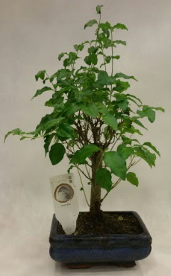 Minyatür bonsai japon ağacı satışı  Şanlıurfa çiçek mağazası , çiçekçi adresleri