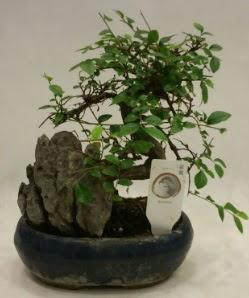 İthal 1.ci kalite bonsai japon ağacı  Şanlıurfa kaliteli taze ve ucuz çiçekler