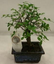 Minyatür ithal japon ağacı bonsai bitkisi  Şanlıurfa kaliteli taze ve ucuz çiçekler