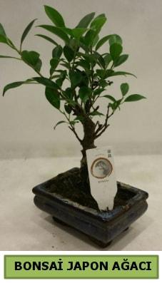 Bonsai japon ağacı saksı bitkisi  Şanlıurfa internetten çiçek siparişi