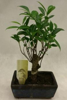 Japon ağacı bonsai bitkisi satışı  Şanlıurfa çiçek mağazası , çiçekçi adresleri