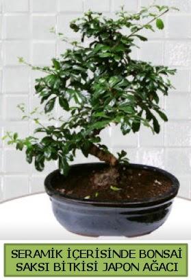 Seramik vazoda bonsai japon ağacı bitkisi  Şanlıurfa İnternetten çiçek siparişi