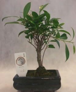 Bonsai japon ağacı bitkisi satışı  Şanlıurfa hediye sevgilime hediye çiçek