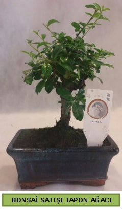 Minyatür bonsai ağacı satışı  Şanlıurfa çiçek servisi , çiçekçi adresleri