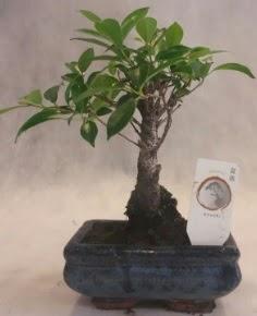 Bonsai ağacı japon ağaç bitkisi  Şanlıurfa çiçek online çiçek siparişi