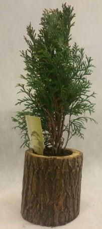 SINIRLI STOK Selvi Bonsai Doğal kütükte  Şanlıurfa anneler günü çiçek yolla
