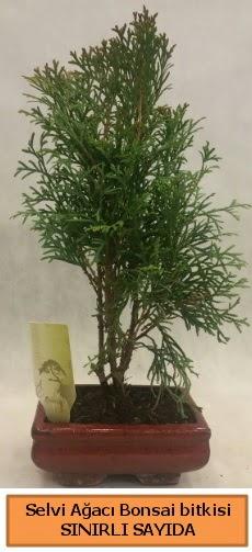 Selvi ağacı bonsai japon ağacı bitkisi  Şanlıurfa kaliteli taze ve ucuz çiçekler
