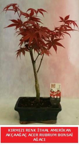 İTHAL ACER RUBRUM BONSAİ AĞACI  Şanlıurfa hediye sevgilime hediye çiçek