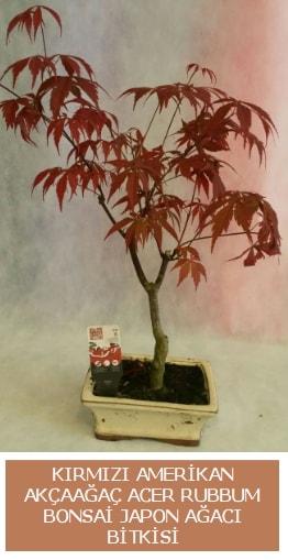 Amerikan akçaağaç Acer Rubrum bonsai  Şanlıurfa hediye çiçek yolla