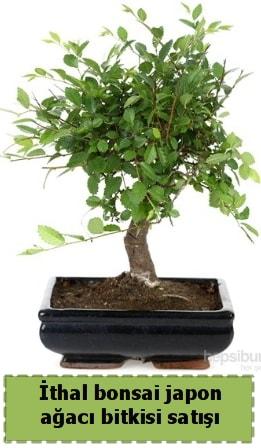 İthal bonsai saksı çiçeği Japon ağacı satışı  Şanlıurfa anneler günü çiçek yolla