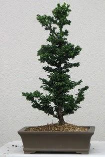 Çam ağacı bonsai bitkisi satışı  Şanlıurfa çiçek mağazası , çiçekçi adresleri