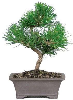 Çam ağacı bonsai japon ağacı bitkisi  Şanlıurfa çiçek servisi , çiçekçi adresleri