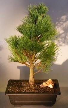 Çam ağacı japon ağacı bitkisi bonsai  Şanlıurfa çiçek mağazası , çiçekçi adresleri