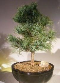 Çam ağacı bonsai bitkisi satışı  Şanlıurfa yurtiçi ve yurtdışı çiçek siparişi