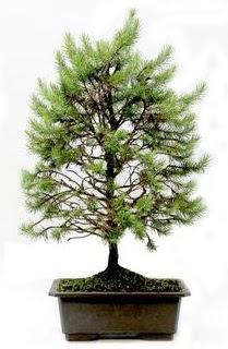 *** STOKTA YOK - Çam ağacı bonsai bitkisi satışı  Şanlıurfa ucuz çiçek gönder