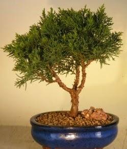 Servi çam bonsai japon ağacı bitkisi  Şanlıurfa çiçek online çiçek siparişi
