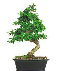 Bonsai bitkisi satışı  Şanlıurfa çiçek mağazası , çiçekçi adresleri
