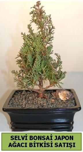 Selvi çam japon ağacı bitkisi bonsai  Şanlıurfa çiçek mağazası , çiçekçi adresleri