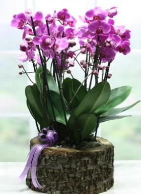 Kütük içerisinde 6 dallı mor orkide  Şanlıurfa yurtiçi ve yurtdışı çiçek siparişi