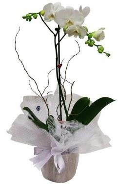 Tek dallı beyaz orkide  Şanlıurfa çiçek , çiçekçi , çiçekçilik