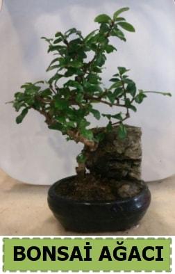 Bonsai ağacı japon ağacı satışı  Şanlıurfa online çiçekçi , çiçek siparişi