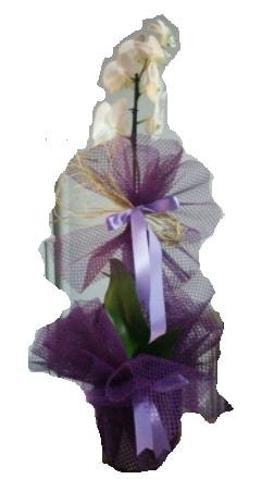 Tek dallı beyaz orkide süper kalite ithal  Şanlıurfa İnternetten çiçek siparişi
