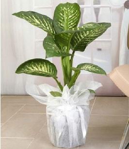 Tropik saksı çiçeği bitkisi  Şanlıurfa kaliteli taze ve ucuz çiçekler