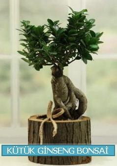 Kütük ağaç içerisinde ginseng bonsai  Şanlıurfa hediye sevgilime hediye çiçek