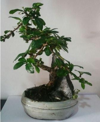 S şeklinde ithal bonsai ağacı  Şanlıurfa çiçek online çiçek siparişi