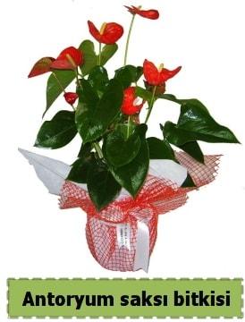 Antoryum saksı bitkisi satışı  Şanlıurfa güvenli kaliteli hızlı çiçek
