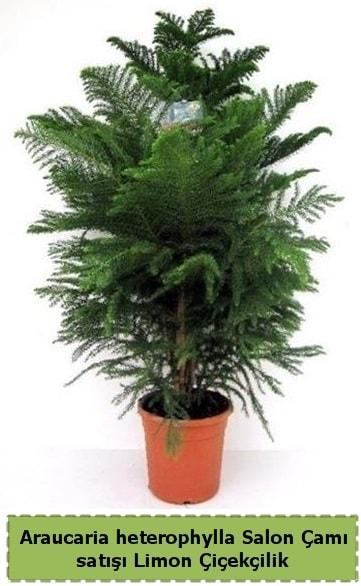 Salon Çamı Satışı Araucaria heterophylla  Şanlıurfa kaliteli taze ve ucuz çiçekler
