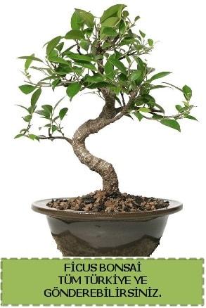 Ficus bonsai  Şanlıurfa hediye sevgilime hediye çiçek