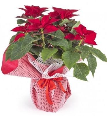 Atatürk çiçeği saksı bitkisi  Şanlıurfa hediye sevgilime hediye çiçek