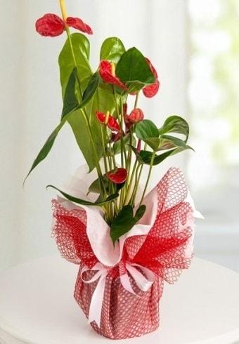 Anthurium Saksı Çiçeği  Şanlıurfa online çiçekçi , çiçek siparişi