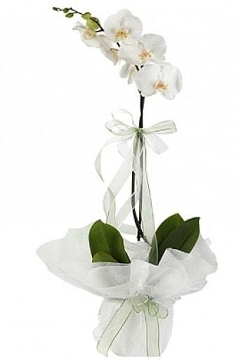 Tekli Beyaz Orkide  Şanlıurfa online çiçekçi , çiçek siparişi