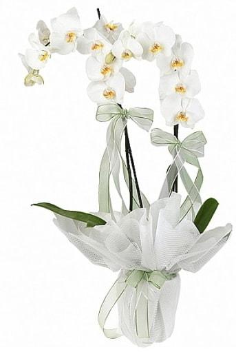 Çift Dallı Beyaz Orkide  Şanlıurfa çiçek siparişi sitesi