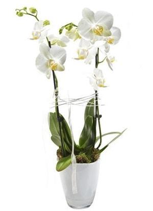 2 dallı beyaz seramik beyaz orkide saksısı  Şanlıurfa hediye sevgilime hediye çiçek