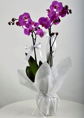 Çift dallı saksıda mor orkide çiçeği  Şanlıurfa çiçekçi telefonları