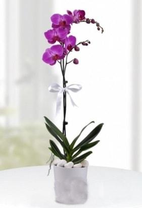 Tek dallı saksıda mor orkide çiçeği  Şanlıurfa çiçek yolla