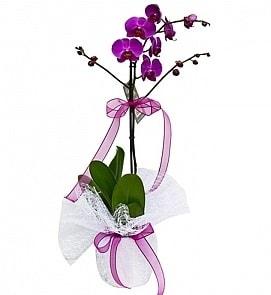 Tek dallı saksıda ithal mor orkide çiçeği  Şanlıurfa çiçek yolla