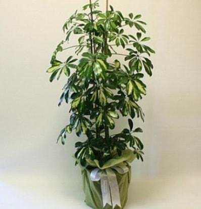 Şeflera salon bitkisi  Şanlıurfa çiçek servisi , çiçekçi adresleri