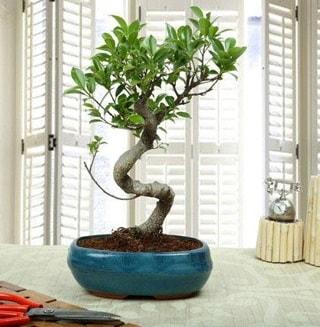 Amazing Bonsai Ficus S İthal  Şanlıurfa çiçek gönderme
