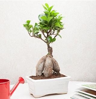 Exotic Ficus Bonsai ginseng  Şanlıurfa internetten çiçek siparişi