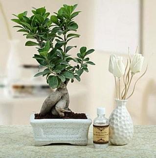 Ginseng ficus bonsai  Şanlıurfa çiçek yolla