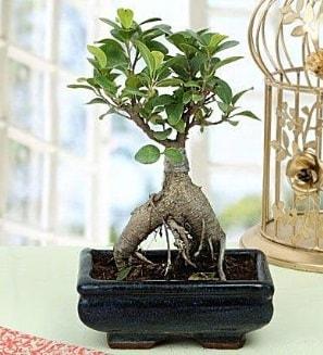 Appealing Ficus Ginseng Bonsai  Şanlıurfa çiçek siparişi sitesi