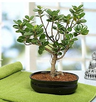 Lovely Ficus Iceland Bonsai  Şanlıurfa çiçek siparişi sitesi