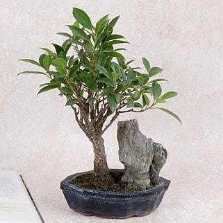 Japon ağacı Evergreen Ficus Bonsai  Şanlıurfa hediye sevgilime hediye çiçek
