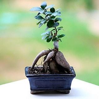 Marvellous Ficus Microcarpa ginseng bonsai  Şanlıurfa çiçekçi telefonları